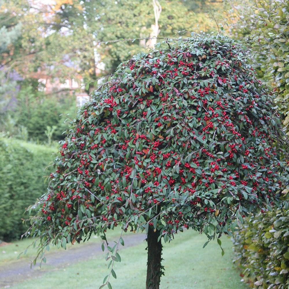 Buy standard cotoneaster cotoneaster hybridus pendulus for Garden trees photos