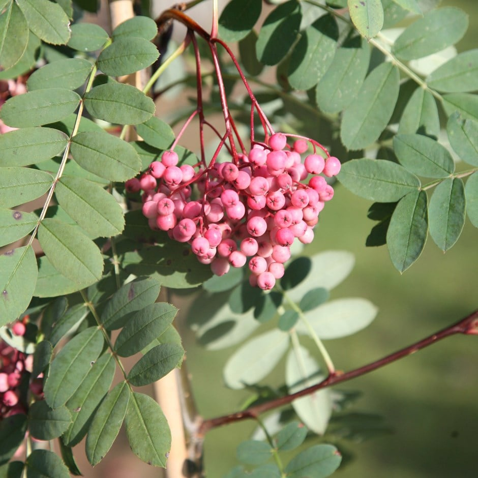 Buy Rowan Sorbus Pseudohupehensis Pink Pagoda 163 74 99