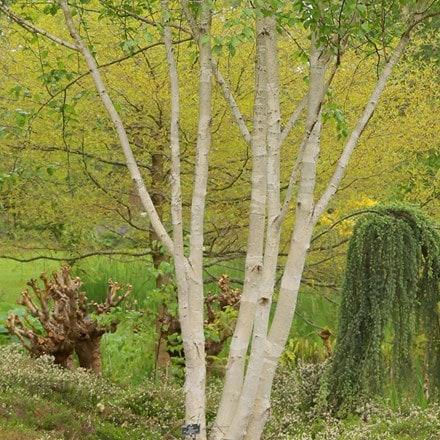 Betula utilis var. jacquemontii Doorenbos