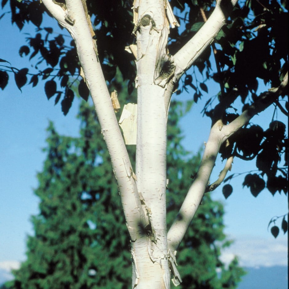 himalayan birch ( syn. Snow Queen )