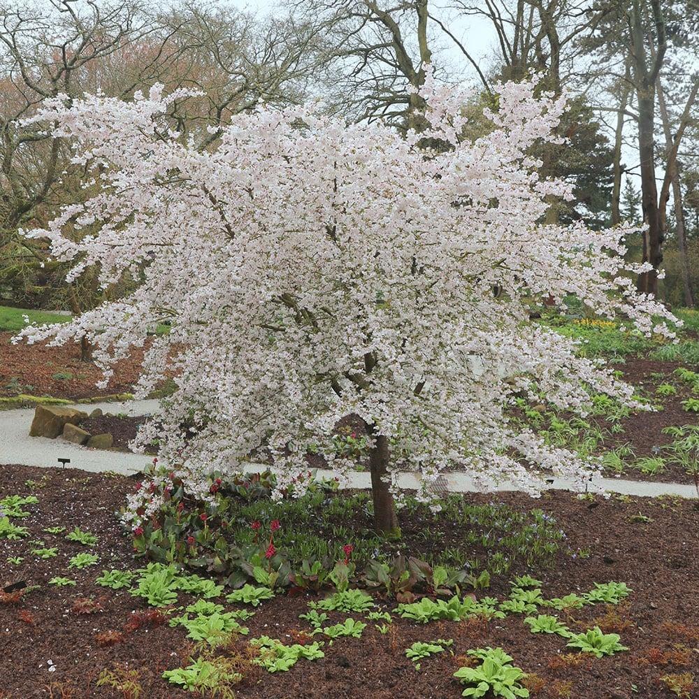 buy ornamental cherry prunus the bride   u00a379 99 delivery by crocus