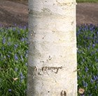 west himalayan birch